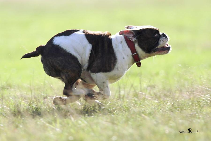 Turbobulldogge