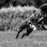 Whippet, Windhund, Coursing