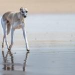 Ein Foto von 2015: Mono schwebt über den Strand. Whippets sollten ein sehr bodennahes, sparsames Gangwerk haben, mit viel Schub aus der Hinterhand und guten Vortritt. Ein Strand bei Ebbe ist ideal, um zu zeigen wie flach sie laufen.