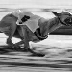 Ein Greyhound auf der Bahn