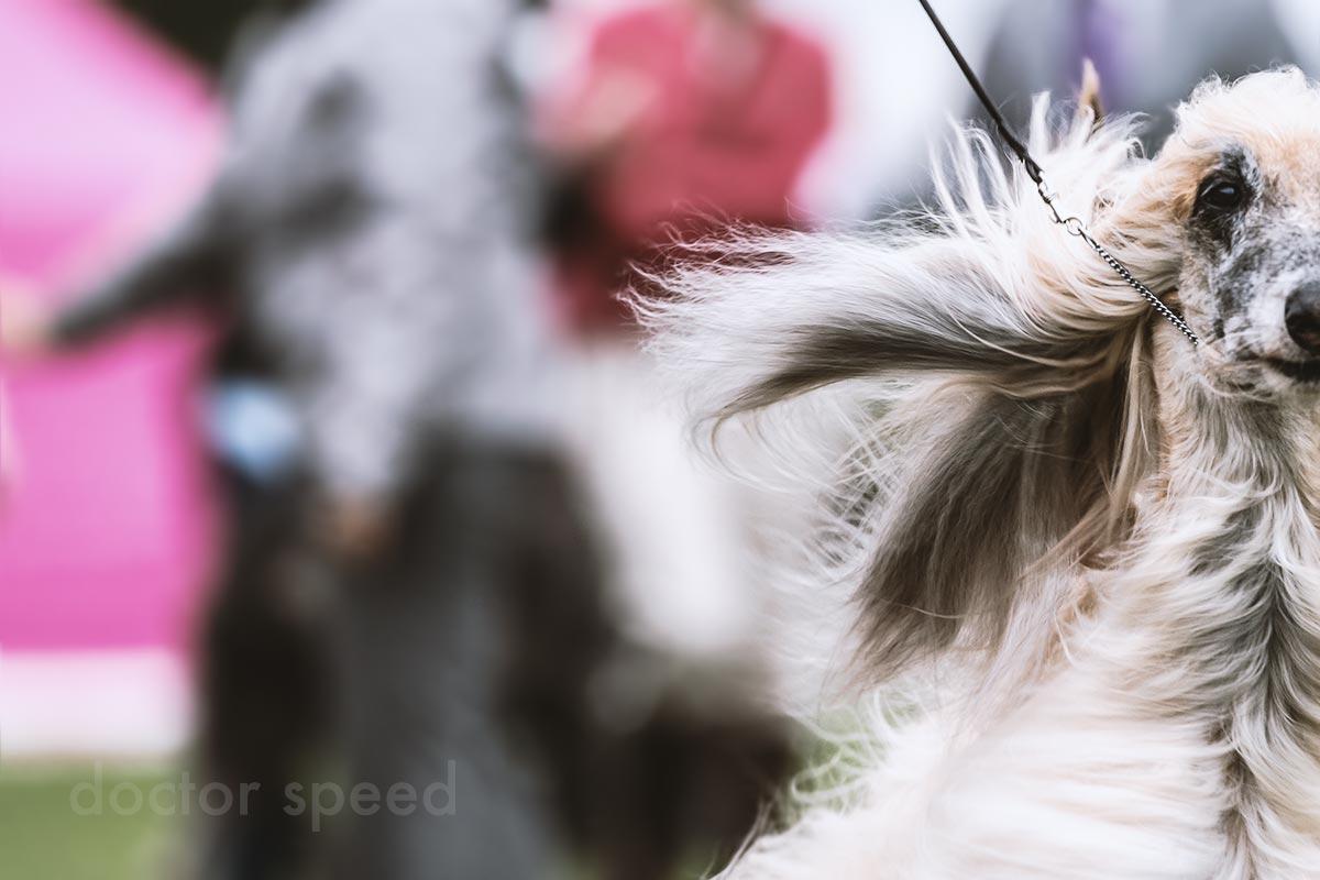 Der Veteranen-Winner der Afghanen beim Sighthound Festival Donaueschingen 2015. Ein beeindruckender Hund!