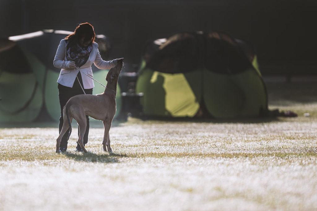 Greyhound, Ausstellung, Show