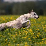 Whippet, Windhund, Danny