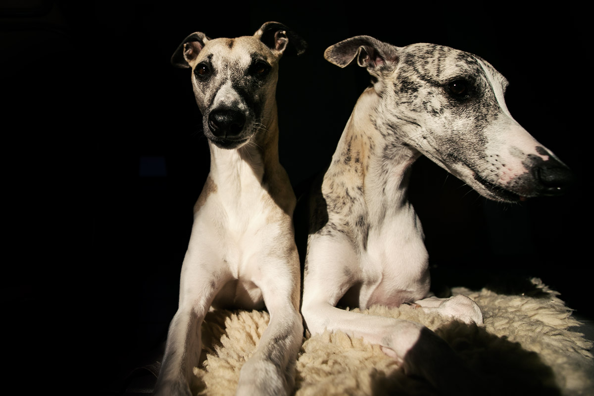 Whippet, Windhund, Körpersprache, Interaktion