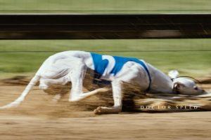 EM Revanche 2015, Whippet, Windhund