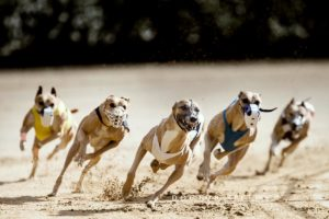 EM-Revanche 2015, Whippet, Windhund, Rennen