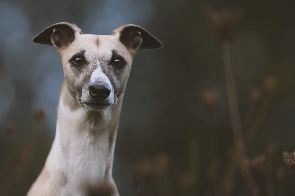 Mono, Whippet, Windhund, Jagd