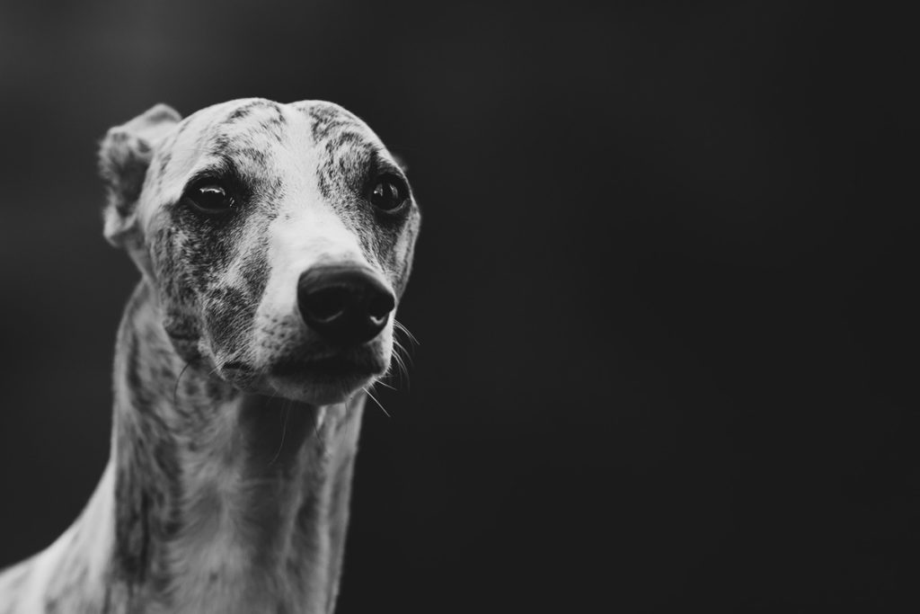 Danny, Whippet, Windhund, Portrait