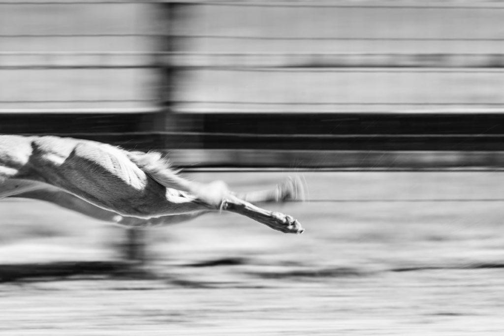 Whippet, Windhund, Rennen