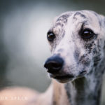Canon, Whippet, Windhund, Sighthound