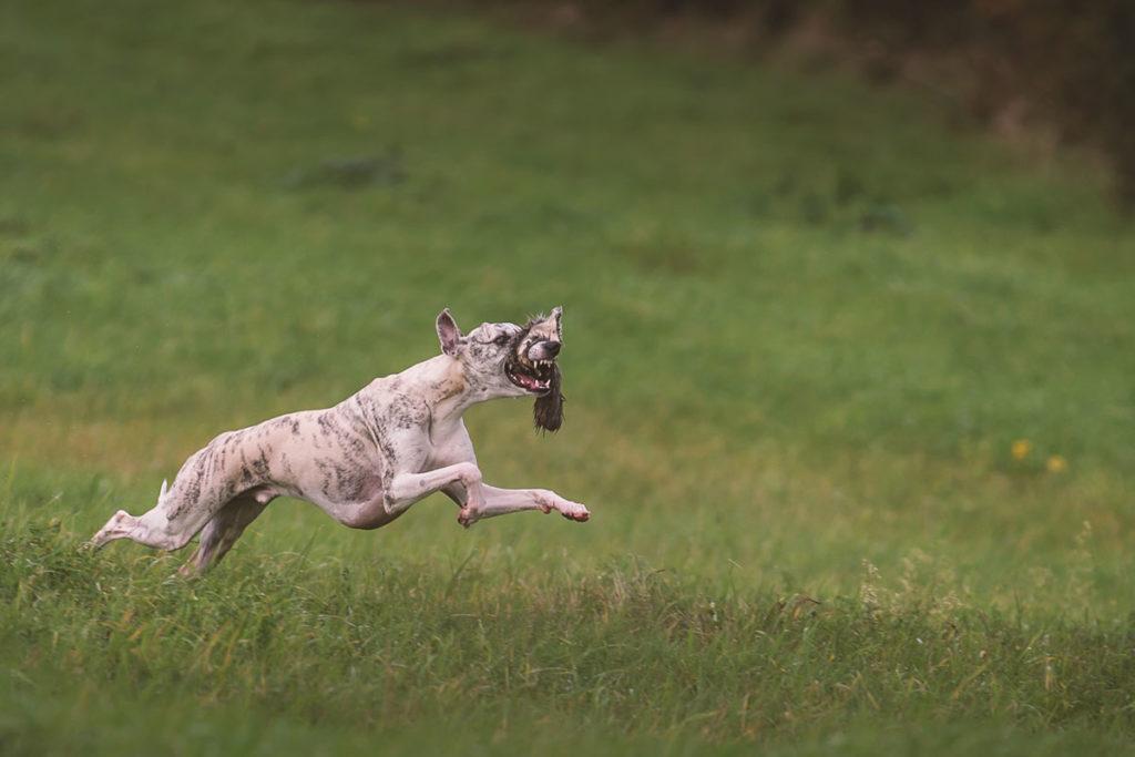 Whippet, Sighthound, Windhund, Danny