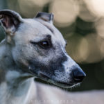 Canon EF 200mm 1:2,0L IS USM, USM, Mono, Whippet, Windhund, Sighthound