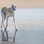 Mono am Strand - Whippet sollten ein sehr bodennahes, sparsames Gangwerk haben, mit viel Schub aus der Hinterhand und guten Vortritt. Ein Strand bei Ebbe ist ideal, um zu zeigen wie flach sie laufen.