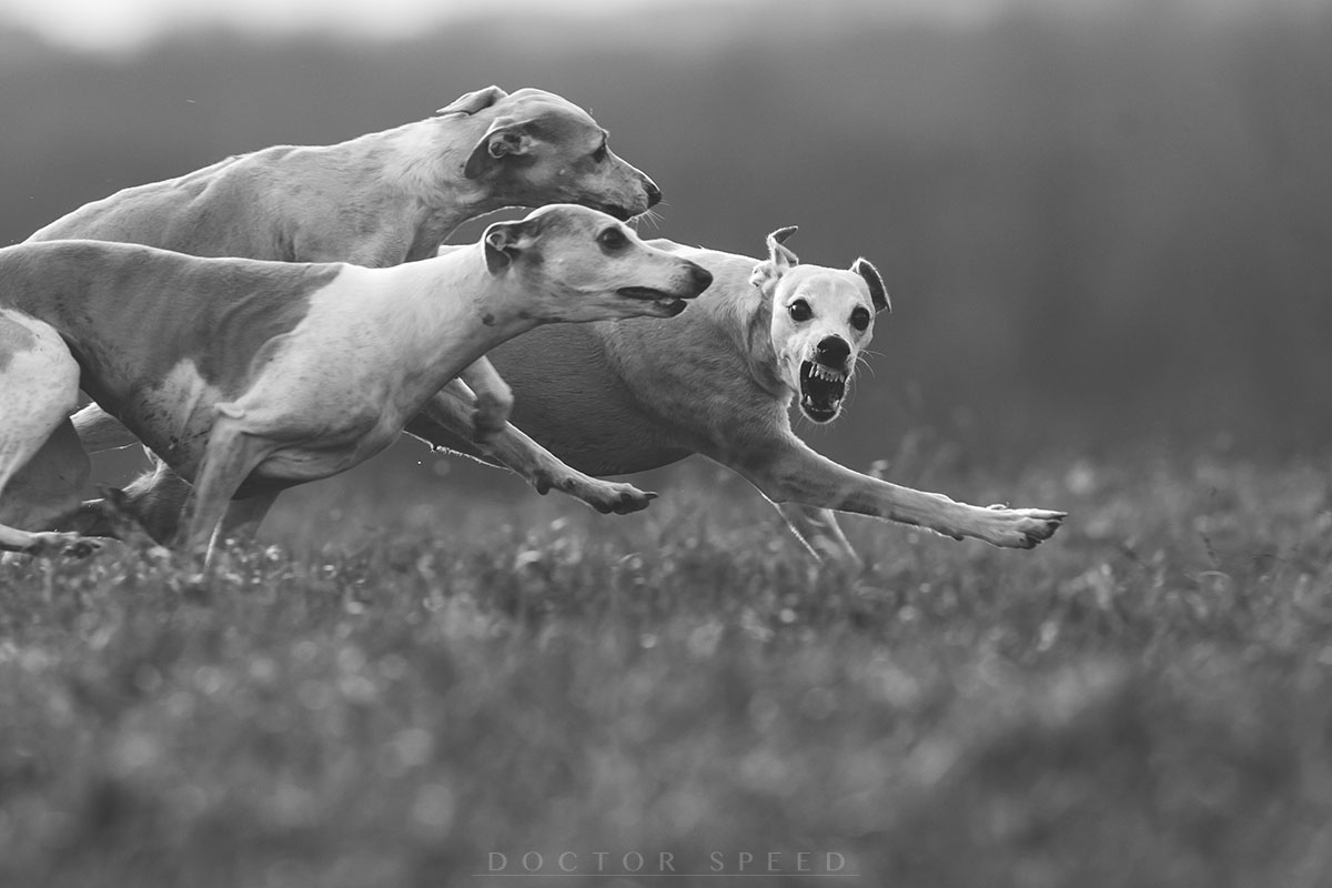 Whippet, Whippets
