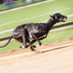 Greyhound auf der Bahn