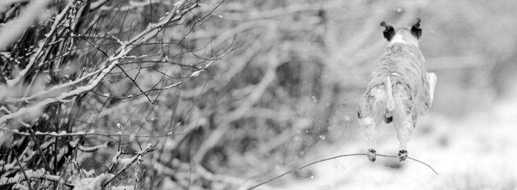 Whippet im Schnee