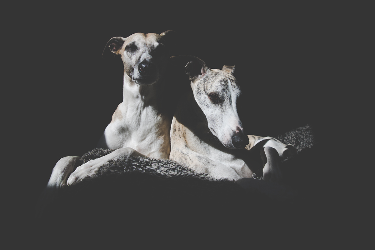 Entspannte Whippets