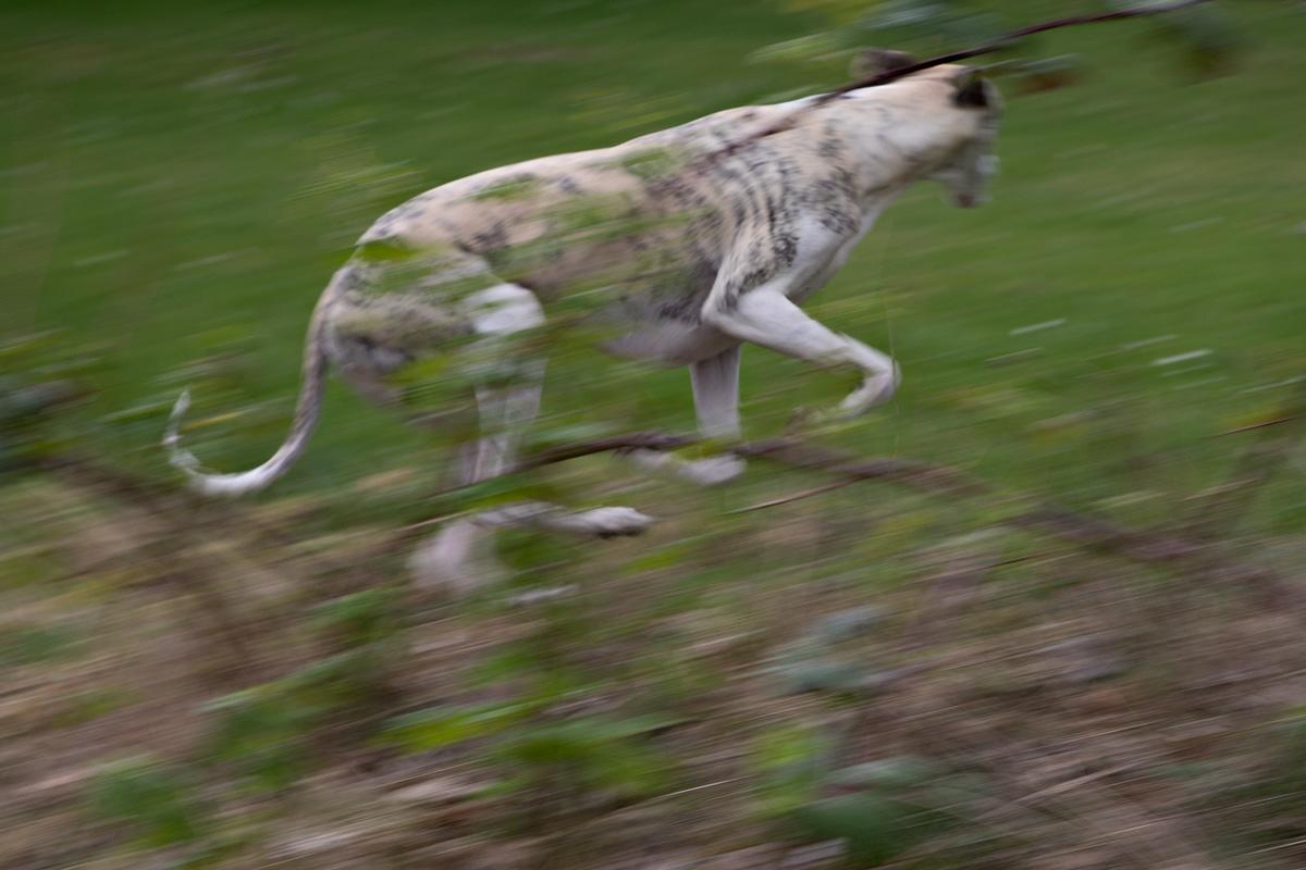 Danny auf der Flucht vor einer schlecht gelaunten Bullterrier-Hündin.