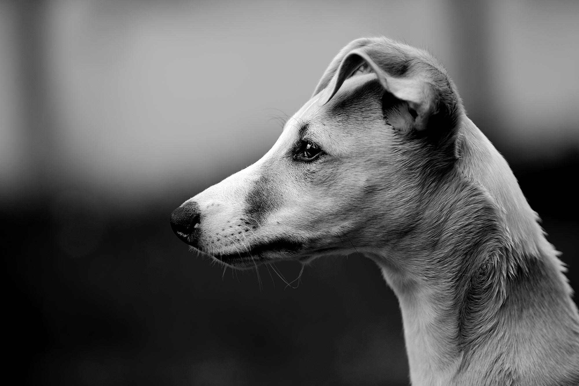 Hupsi ist kackendreist, testet jede erdenkliche Grenze, ist verfressen wie ein weißer Hai. Doch wenn ich oder die erwachsenen Hunde ihm eine Grenze stecken, versteht er sofort. Er ist ein schlauer Hund, der rasend schnell lernt, wenn er will.