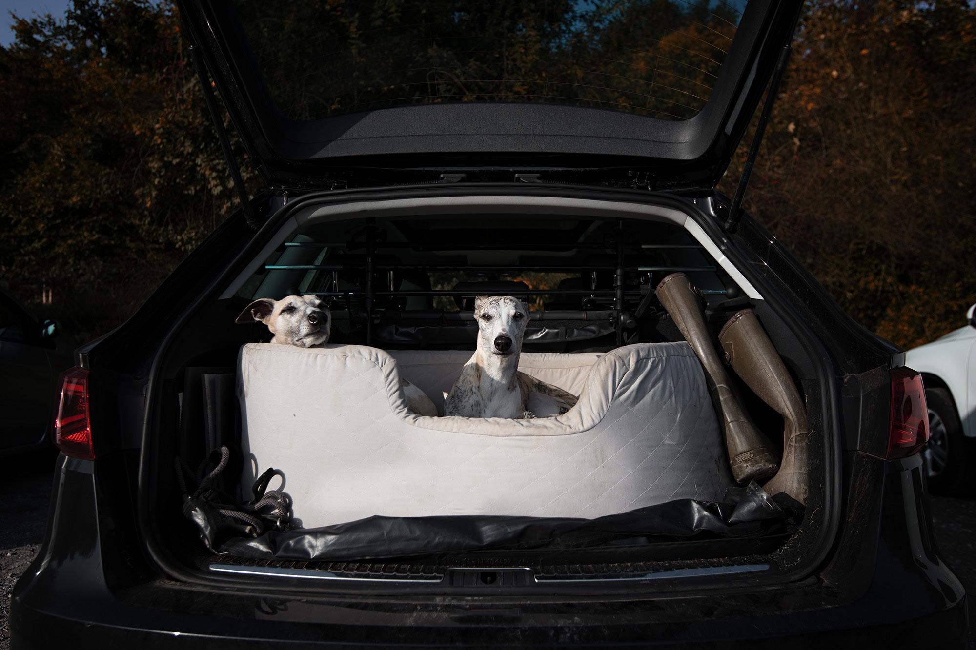 Der Hund im Auto - Unser Seat Leon FR ist ein sogenannter Lifestyle Kombi. Ein seinen Kofferraum passen soeben ein großes Hundebett, zwei Whippets und Gummistiefel. Dann ist aber auch Schluss.