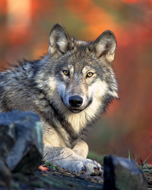Ich glotz TV - Hupsi und der böse Wolf - Canis Lupus
