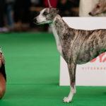 Collooney Tartan Tease ist zweifache Weltsiegerin. Sowohl 2017 in Leibzig als auch 2018 in Amsterdam wurde sie zur schönsten Whippethündin der Welt gekürt.