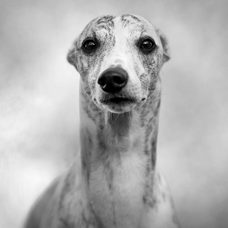 Portraits von meinen Whippets. Danny schaut mich an. Seine recht runden Augen verleihen ihm nach wie vor einen recht kindlichen Blick.