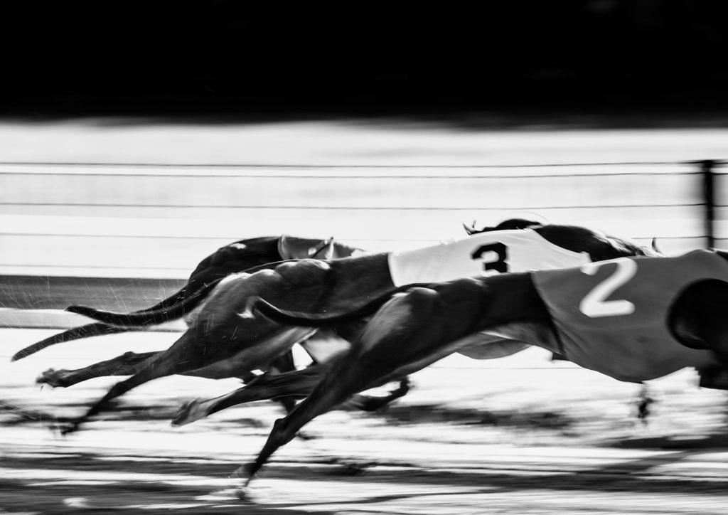 Greyhounds auf der Rennbahn