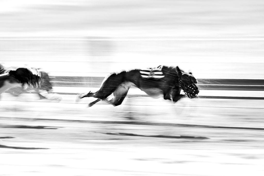 Whippets in einem Rennen