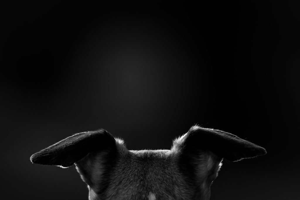 Whippetohren - Mono der Wächter - Unter tausenden Whippets könnte ich ihn allein an seinen Ohren wiedererkennen.