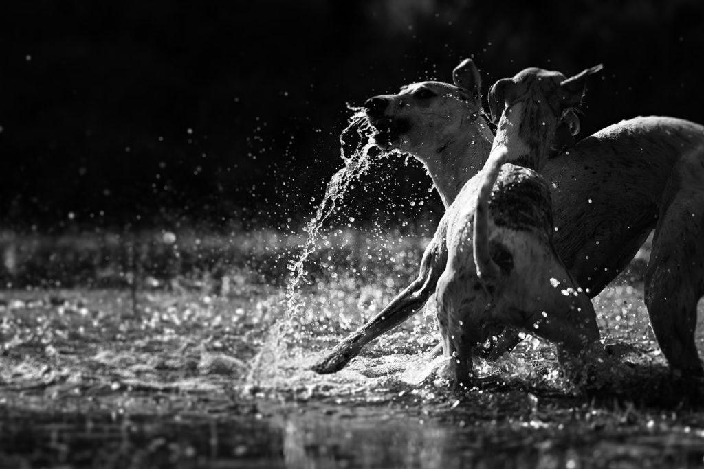 Wasser, Licht und Chaos - Sechs Whippets spiielen im Wasser