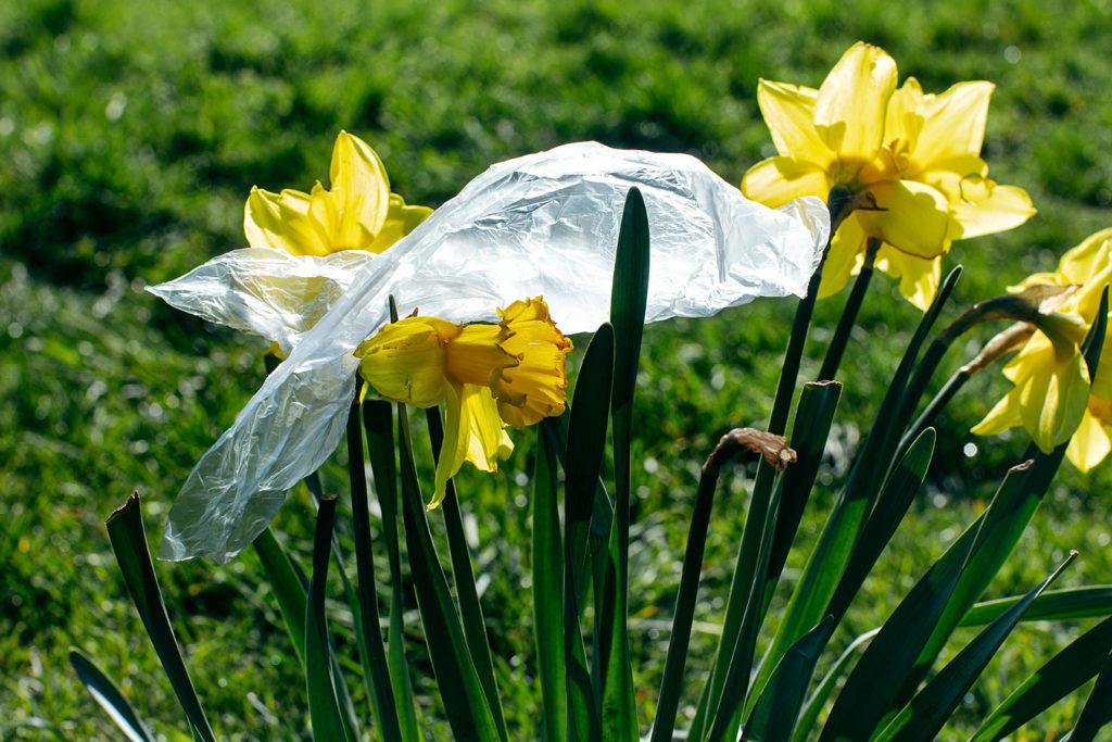 Die Osterglocke unter der Plastiktüte. Das ist üble Realität, aber mir viel zu romantisierend.