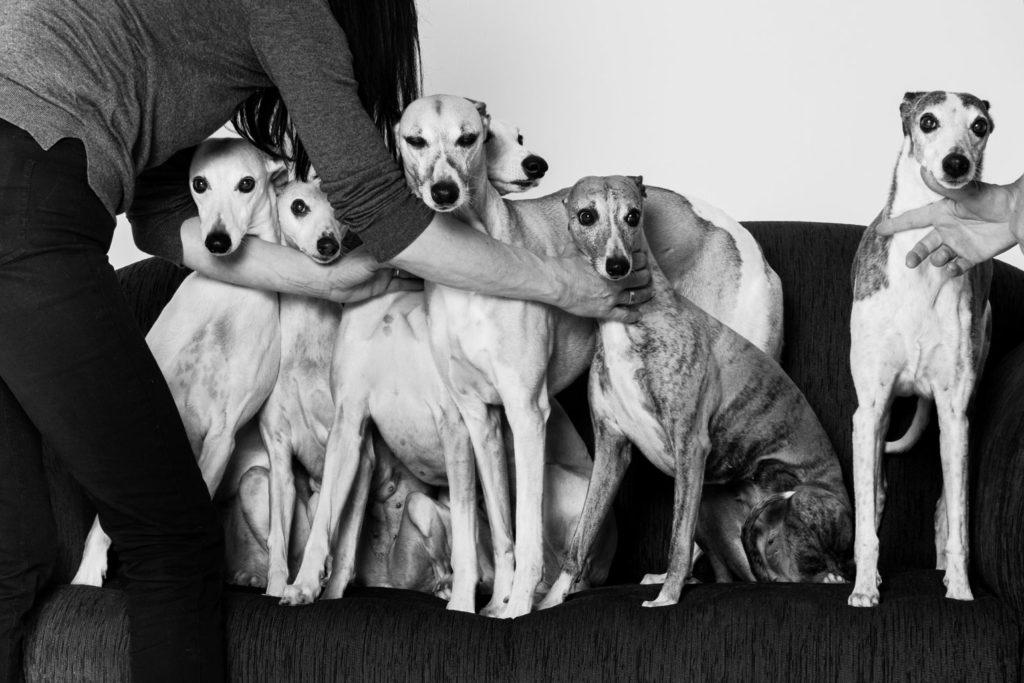 Der Puppenspieler von Mexiko - Sieben Whippets auf einem Sofa. Kann schwierig werden