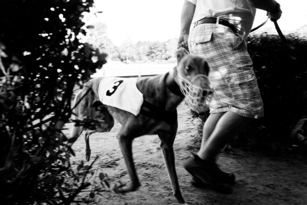 Greyhound nach seinem Lauf