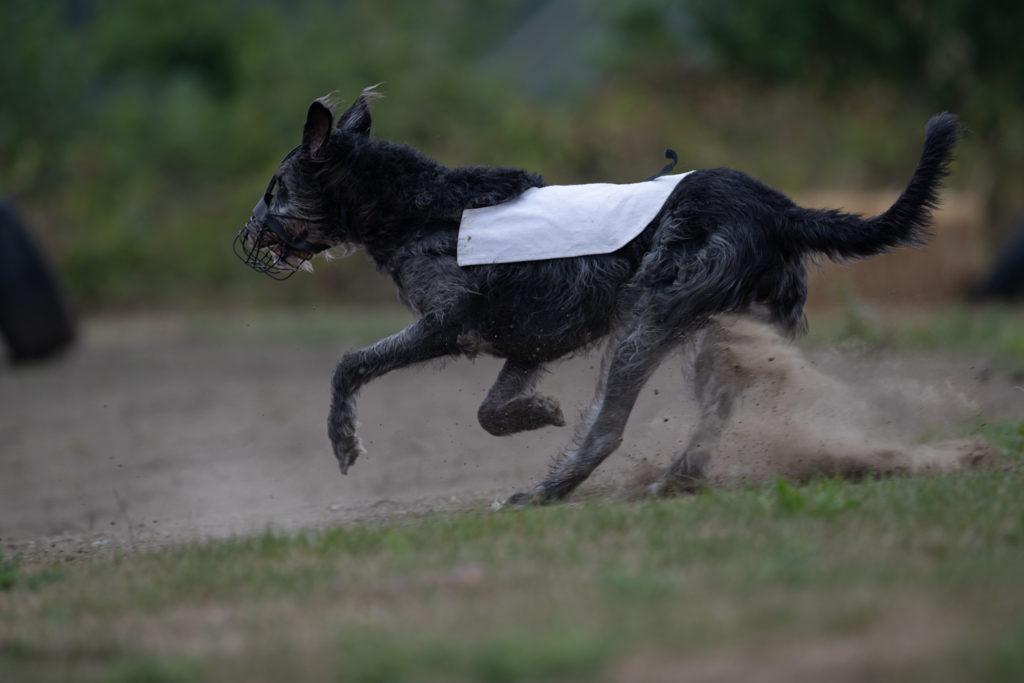 Irish Wolfhound beim 12. Westfalen Coursing