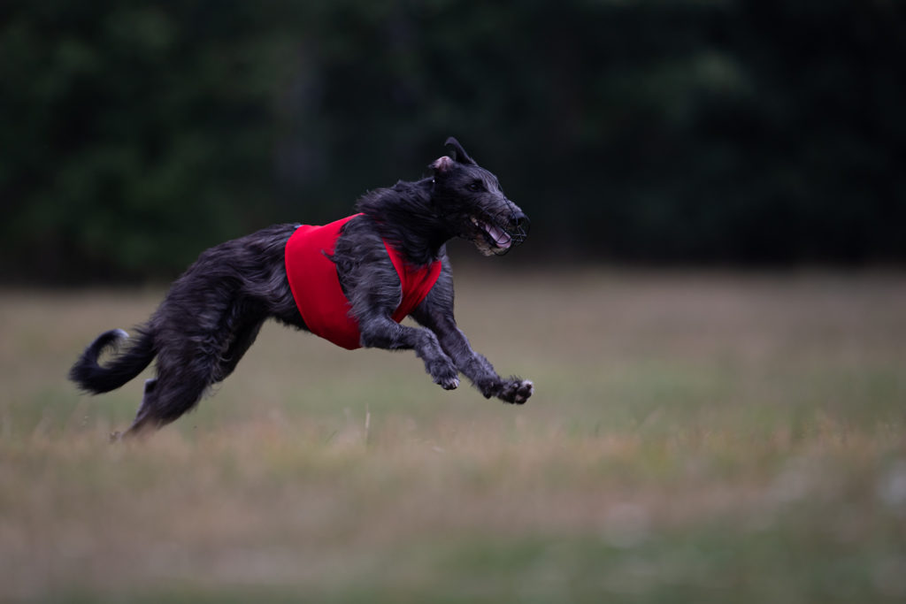 Deerhound beim Coursing