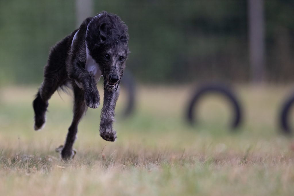 Deerhound beim 12. Westfalen Coursing