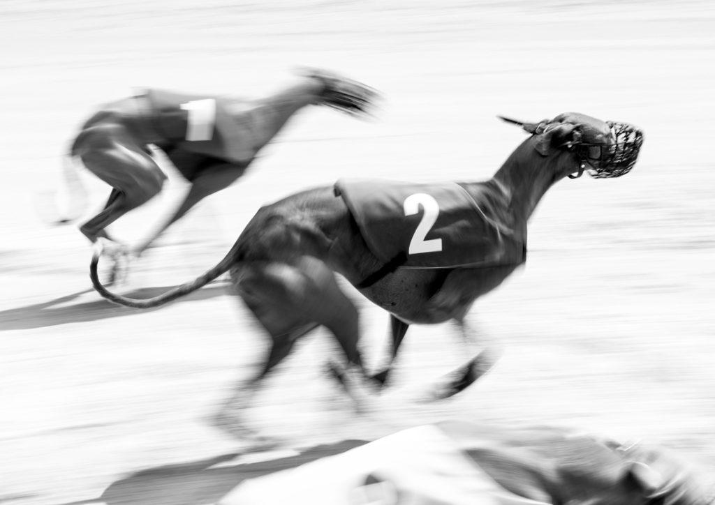 Azawakhs beim Rennen