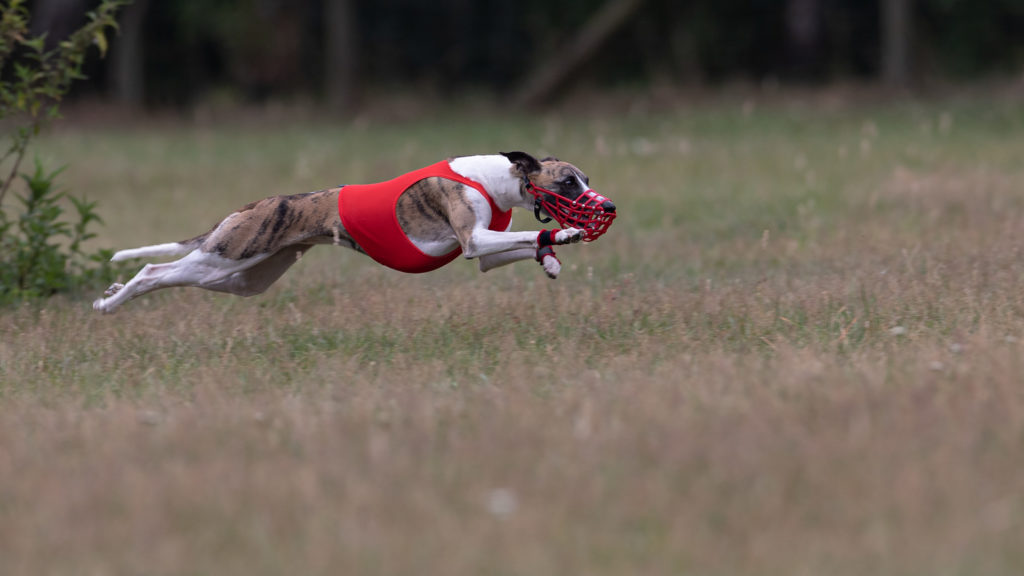 Whippet beim Coursing
