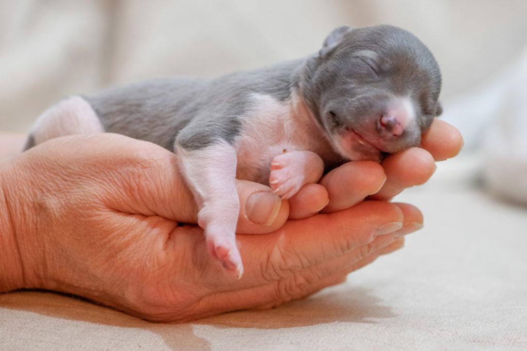 """Acht Mono-Babies bei L'âme du Joran- Almeisan de L'âme du Joran. Sie gehört zu den drei """"Blauen""""."""