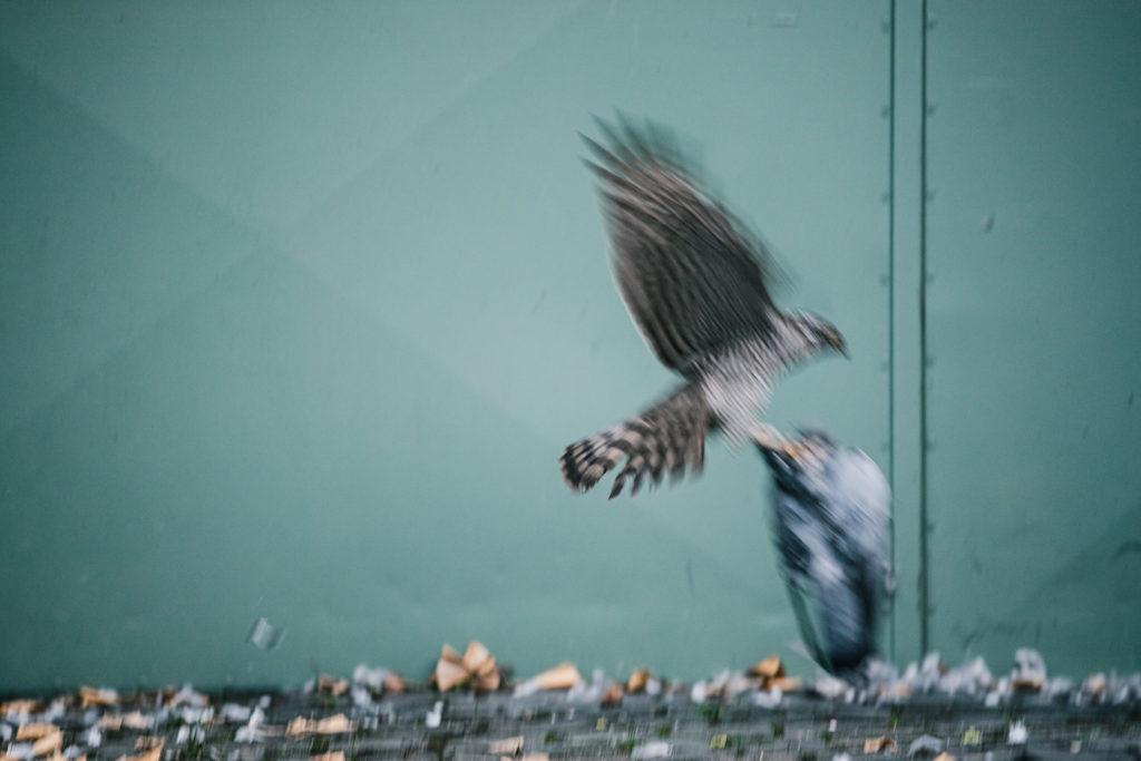 Ein Sperber versucht eine Taube wegzutragen. (Kleines Experiment)