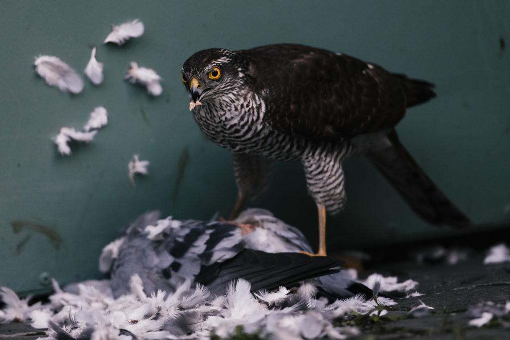 Ein Sperber hat eine Taube erlegt.