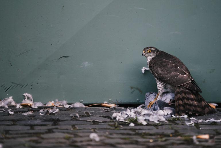 Der Sperber bewacht seine erbeutete Taube. Er kann sie nicht wegtragen, weil sie zu schwer für ihn ist.