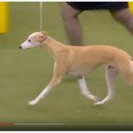 Hochprozentig - The Westminster Kennel Club Show 2020 - GCHG Ch Pinnacle Kentucky Bourbon
