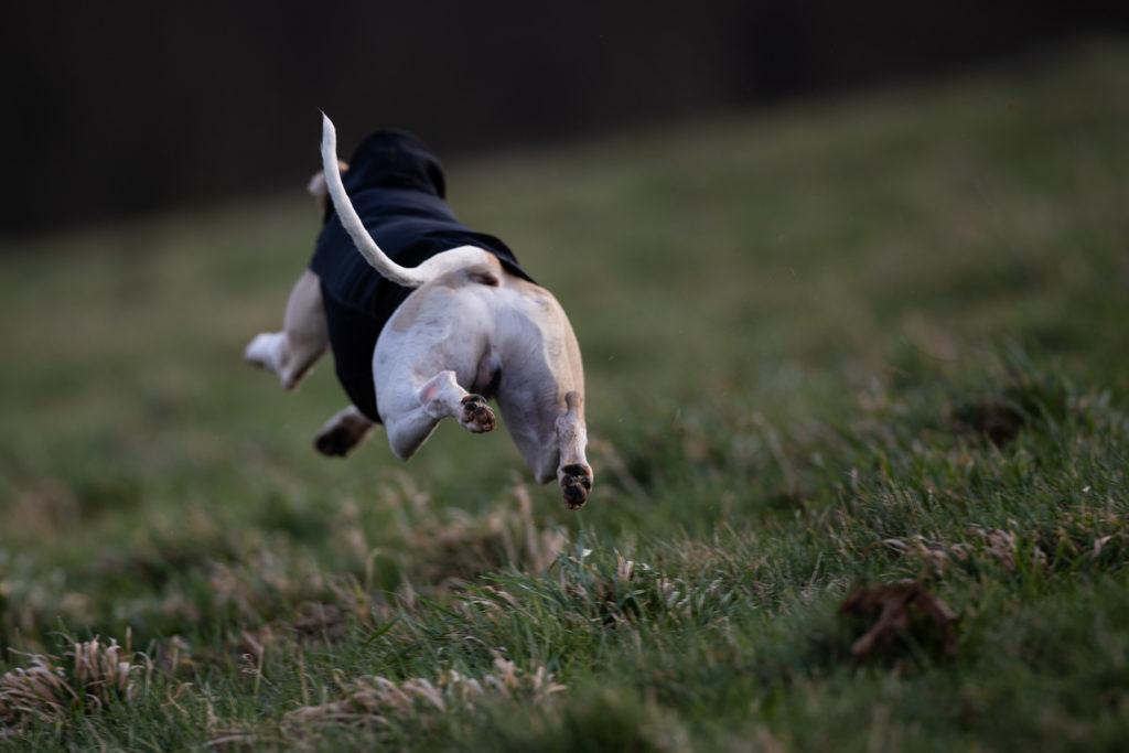 Hudson platzt vor Energie und Lebenslust. Er liebt es über die großen Wiesen zu sprinten. Einfach nur so zum Spaß.