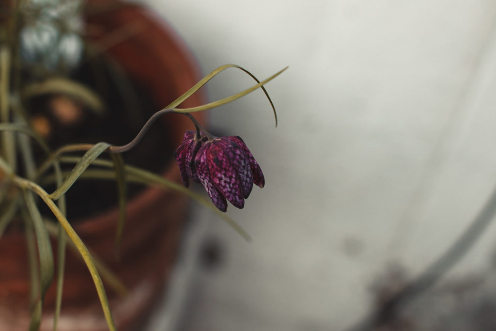 Leben im Lockdown - Unsere Schachblume wächst sehr schön.
