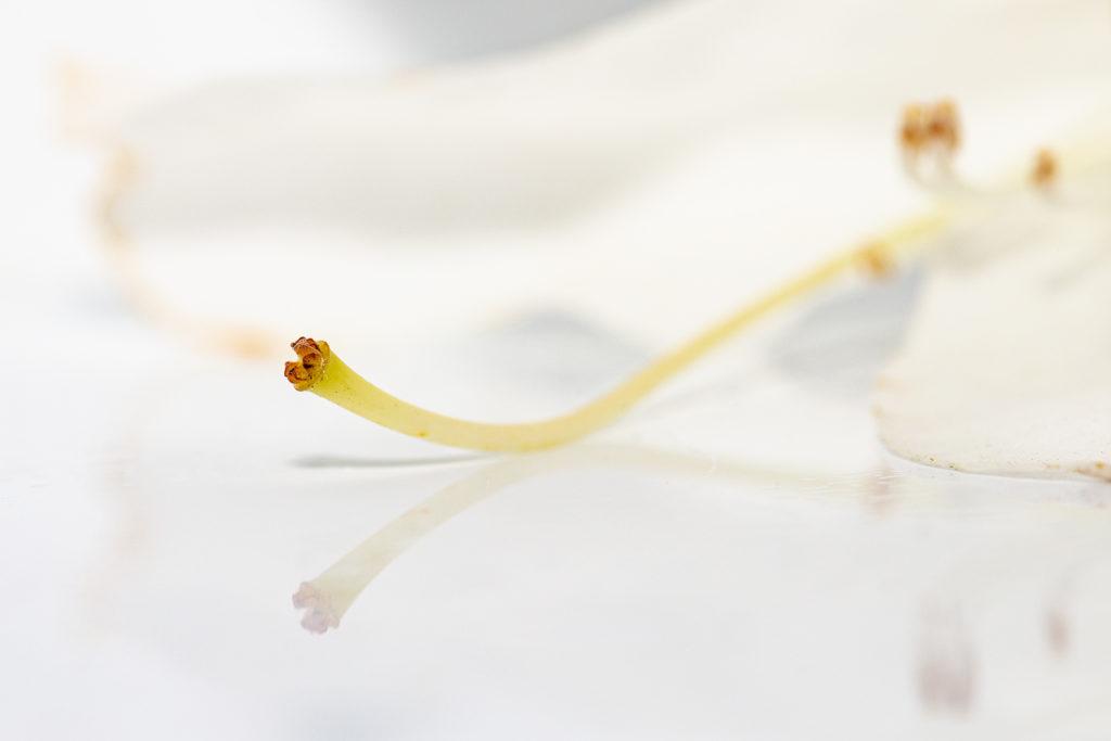 Macro eines weißen Rhododendrons. 1/125 sek., ISO 100, f/8, Blitz mit ausgestecktem Diffusor.