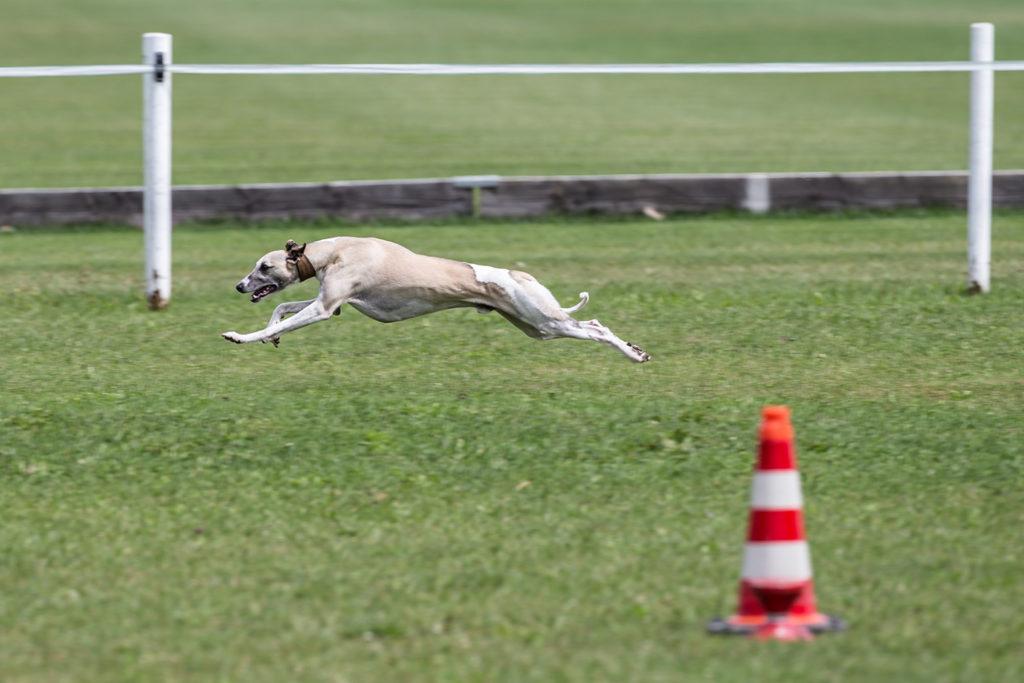 Mono beim Show-Coursing in Rahmen des Sighthound Festivals Donaueschingen 2015