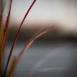 Das Glück, so etwas wie einen Garten zu haben - Japanisches Blutgras, Imperata cylindrica 'Red Baron'