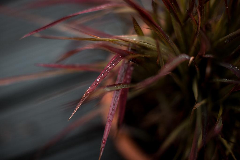 Das Glück, so etwas wie einen Garten zu haben. Japanisches Blutgras - Imperata cylindrica 'Red Baron'